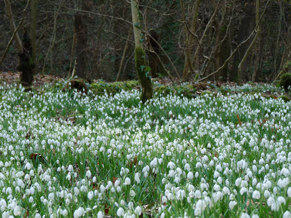 Snowdrops!