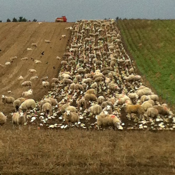 Sheep on neeps