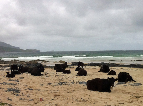 Cows on the beach in Durness