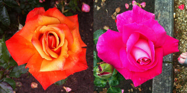 More roses in Inverness