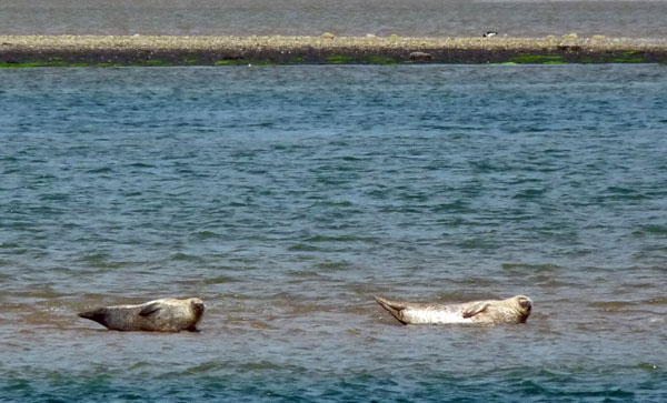 Seals at Dornoch Firth