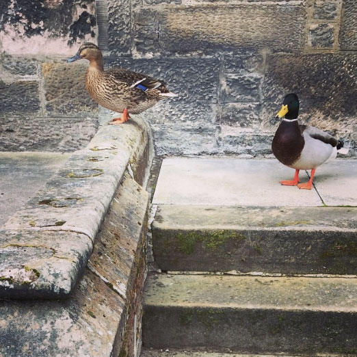 Ducks of Inverness