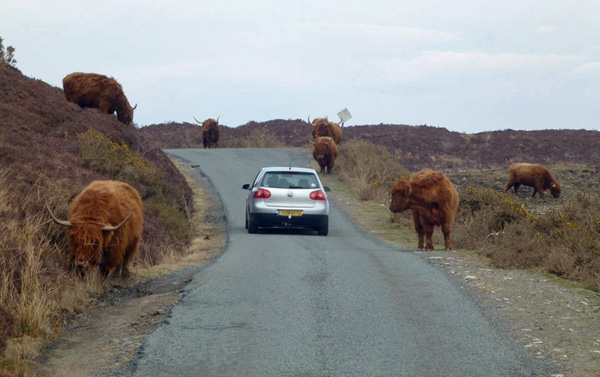 Highland cows on Skye