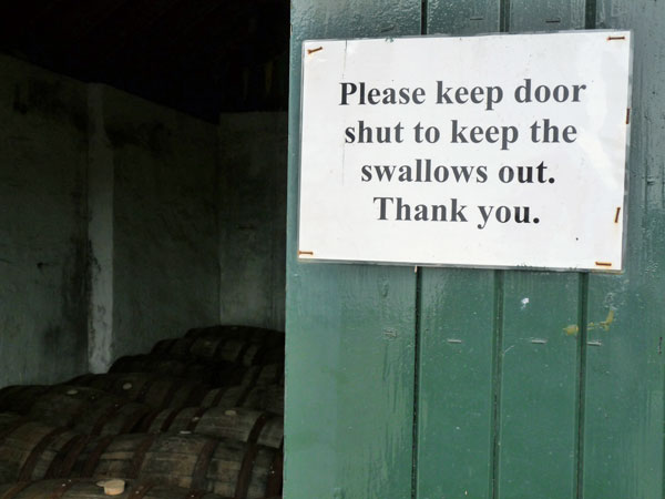 Swallows not welcome at Laphroaig