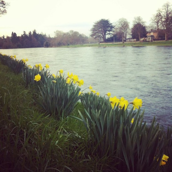 Daffodils on the River Ness