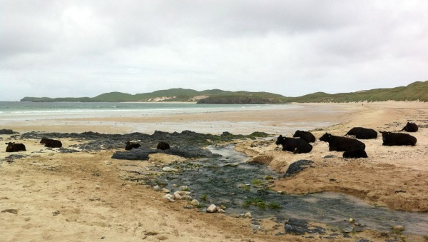 Cows on the beach, Durness