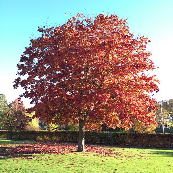 Autumn tree at Eden Court, Inverness