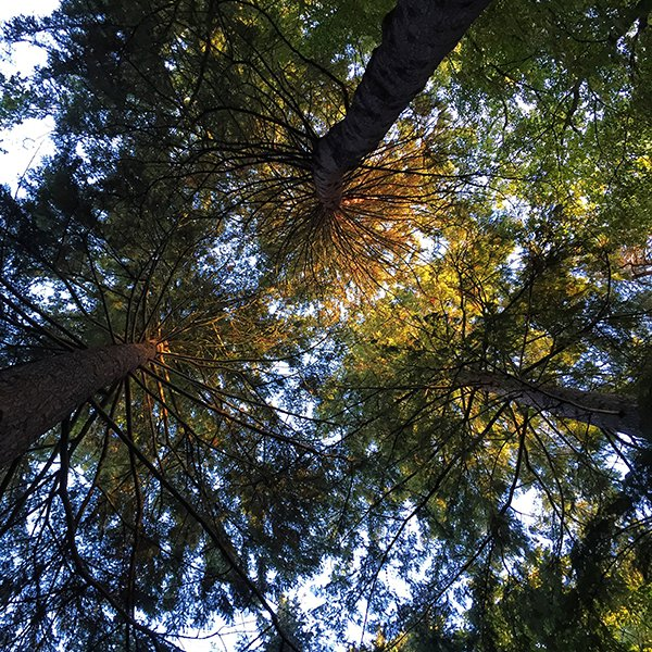 Look up - trees on the Ness Islands